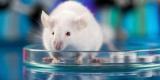 Ученые научились превращать мышей в кровожадных хищников
