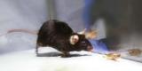 Ученые превратили грызуна в неконтролируемого убийцу
