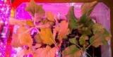 На МКС собрали первый урожай капусты